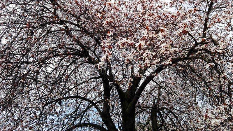 Branches d'un arbre dans la fleur - floraison de printemps photos stock