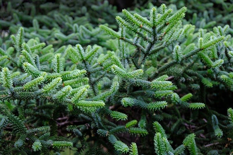 Branches d'un arbre de Noël vert en été image libre de droits