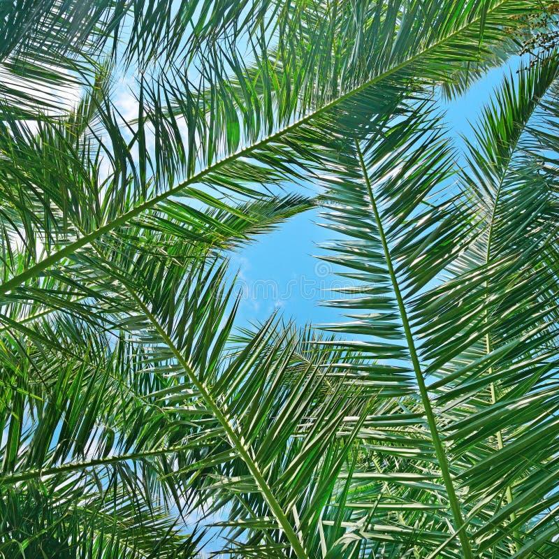 Branches d'un arbre de noix de coco photo libre de droits