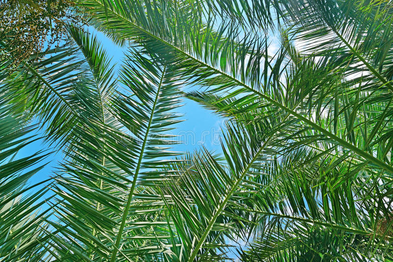 Branches d'un arbre de noix de coco photos libres de droits