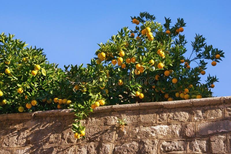 Branches d'un arbre orange avec les fruits mûrs contre le ciel bleu photographie stock