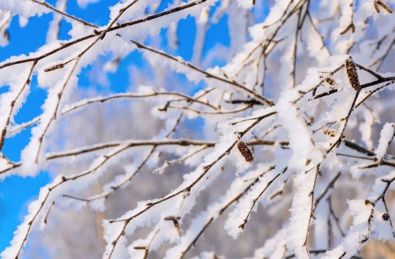 Branches d'un bouleau avec la neige et la gelée brillantes blanches image libre de droits