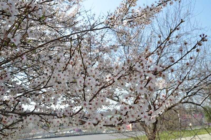 Branches d'un cerisier de floraison photos stock