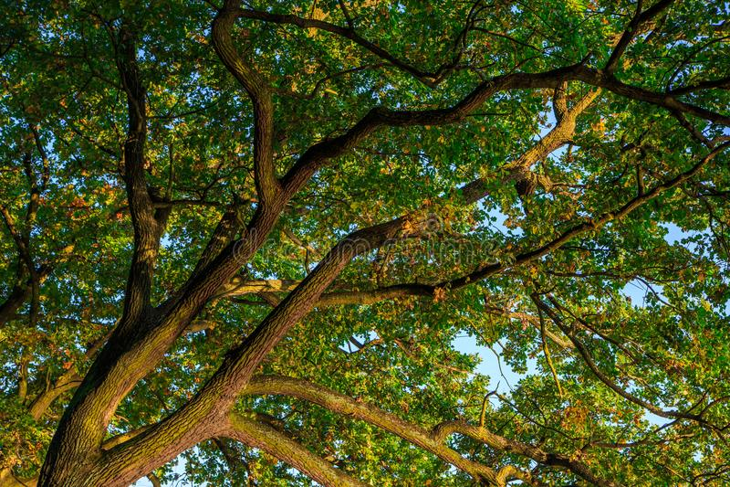 Branches d'un grand chêne vert en automne tôt sur un bleu clair image libre de droits