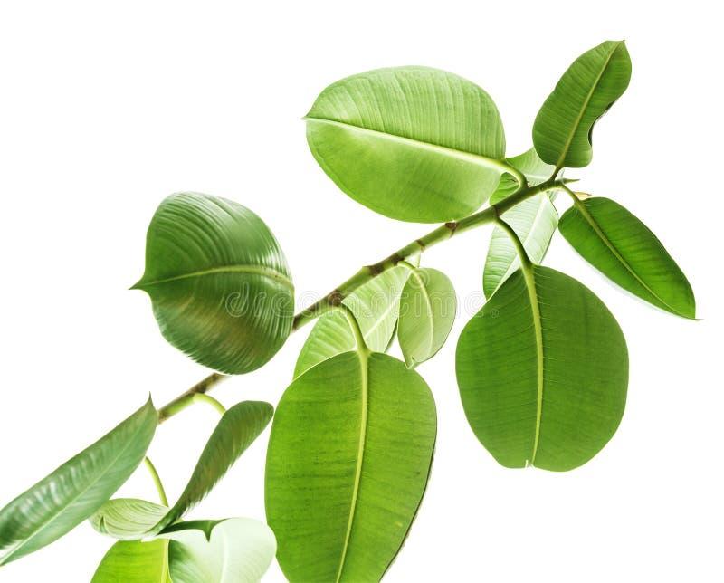 Branches d'une vue inférieure d'arbre en caoutchouc sur le fond blanc, grandes feuilles vertes d'isolement arrondies Éléments pou photos stock