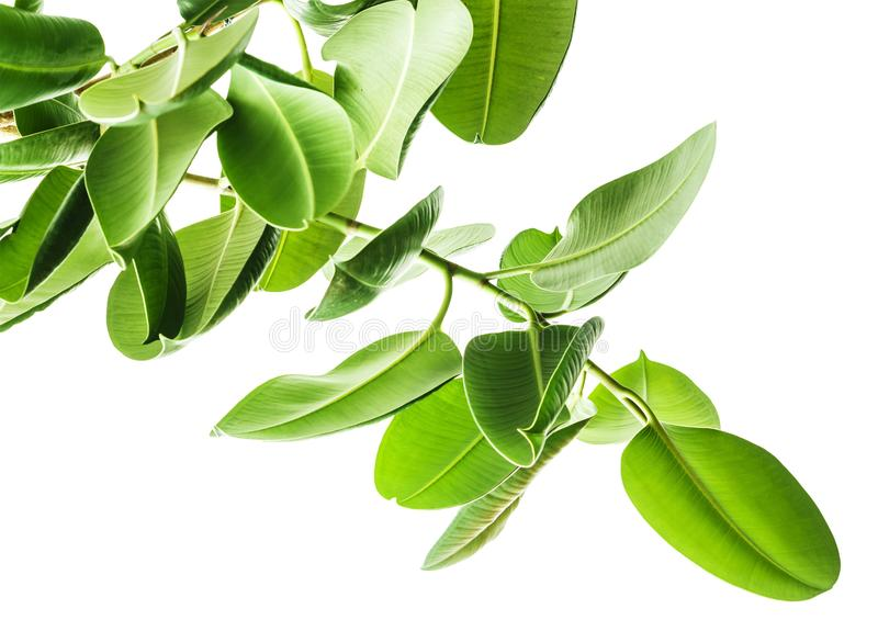 Branches d'une vue inférieure d'arbre en caoutchouc sur le fond blanc, grandes feuilles vertes d'isolement arrondies Éléments pou photographie stock