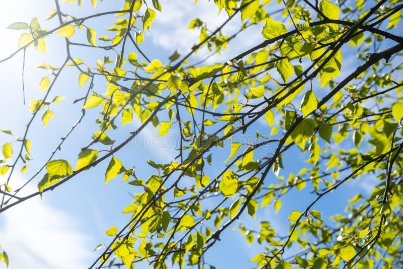 Branches de bouleau dans le jeune feuillage contre le ciel images libres de droits