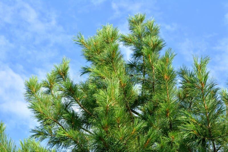 Branches de cèdre Aiguilles vertes contre le ciel bleu photo stock
