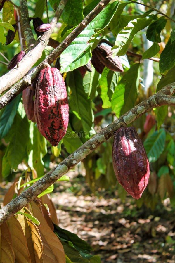 Branches de cacaoyer avec les fruits mûrs photos stock