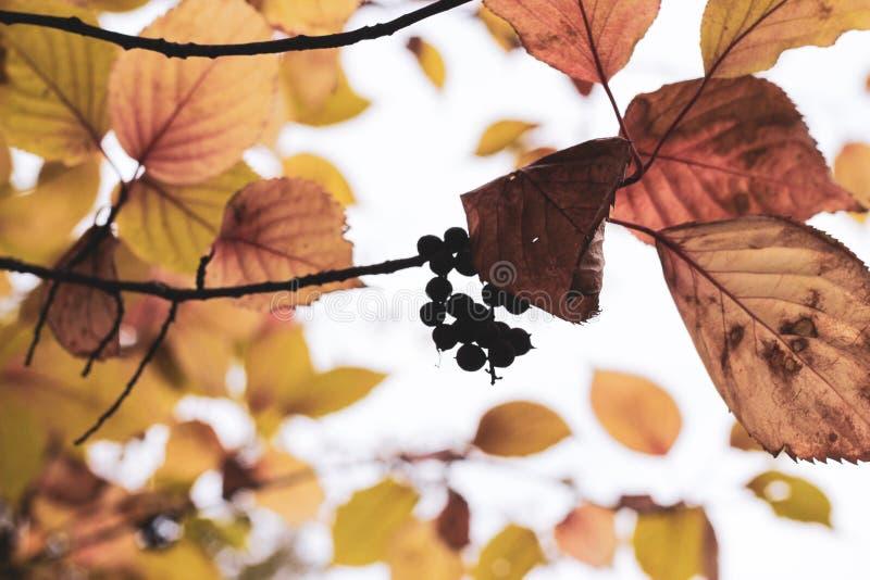 Branches de cendre de montagne avec des baies et des feuilles image libre de droits
