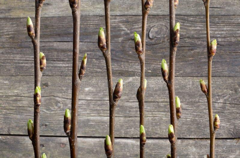 Branches de cerise d'oiseau de ressort avec des bourgeons sur le fond du vieux mur en bois Illustration d?corative Image conceptu images stock