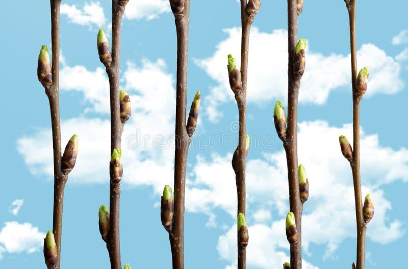Branches de cerise d'oiseau de ressort avec le bourgeonnement contre le ciel bleu avec les nuages blancs Image conceptuelle de re photos stock