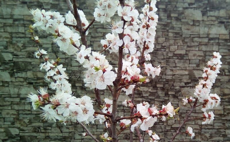 Branches de cerise de floraison sur le fond d'un mur gris photos stock