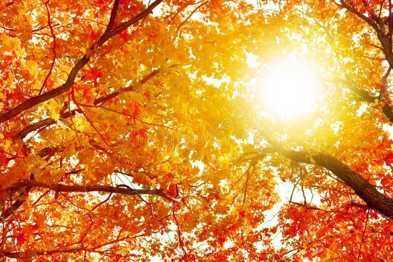 Branches de chêne avec les feuilles jaunes sur le ciel bleu et le fond lumineux de lumière du soleil, nature d'or de jour ensolei photos libres de droits