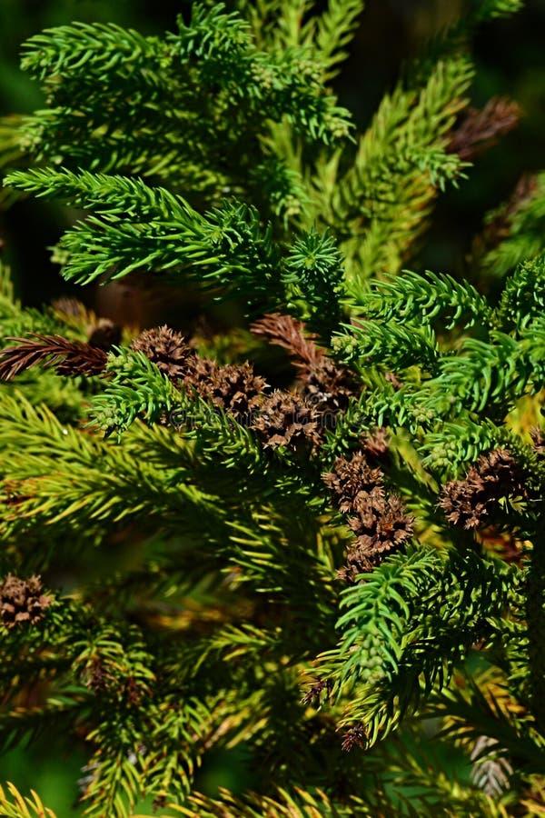 Branches de cognassier du japon de cryptomeria d 39 arbre conif re galement appel es pin de - Arbre du japon ...