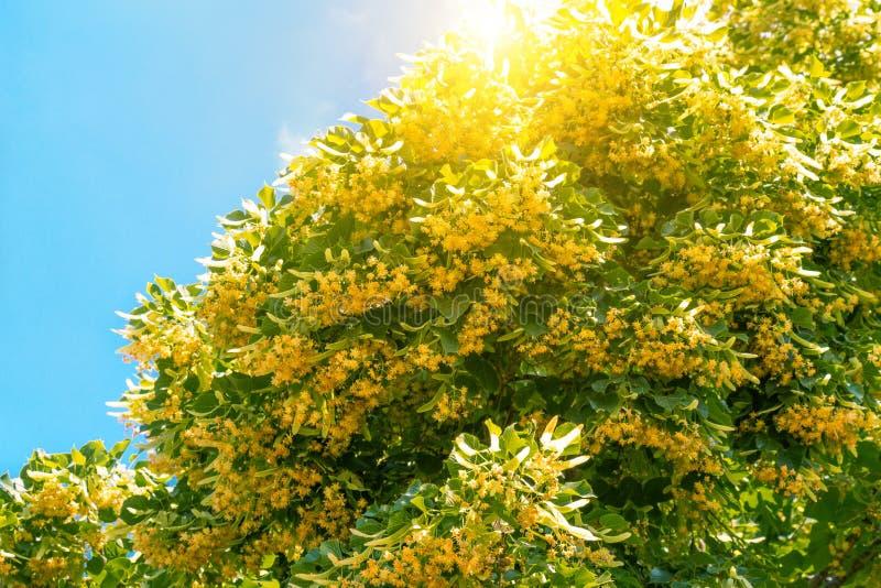 branches de floraison de tilleul photo stock image du nature arome 54244446. Black Bedroom Furniture Sets. Home Design Ideas