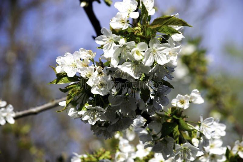 Branches de floraison de merise au printemps, de fleurs blanches et de jeune feuillage sur les branches grises photos libres de droits