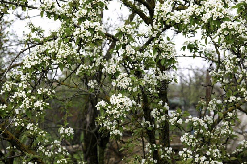 Branches de floraison de poirier dans un jardin de ressort, des fleurs blanches et un jeune feuillage vert, fond, contexte photographie stock libre de droits