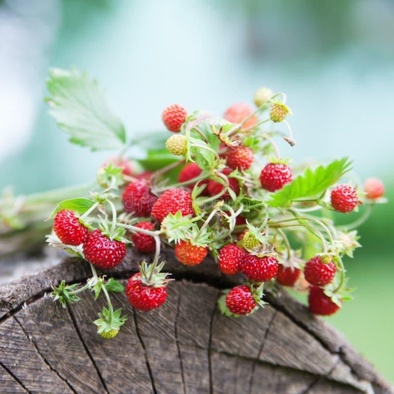Branches de fraisier commun sauvage frais sur le vieux bois d'un rondin photos stock