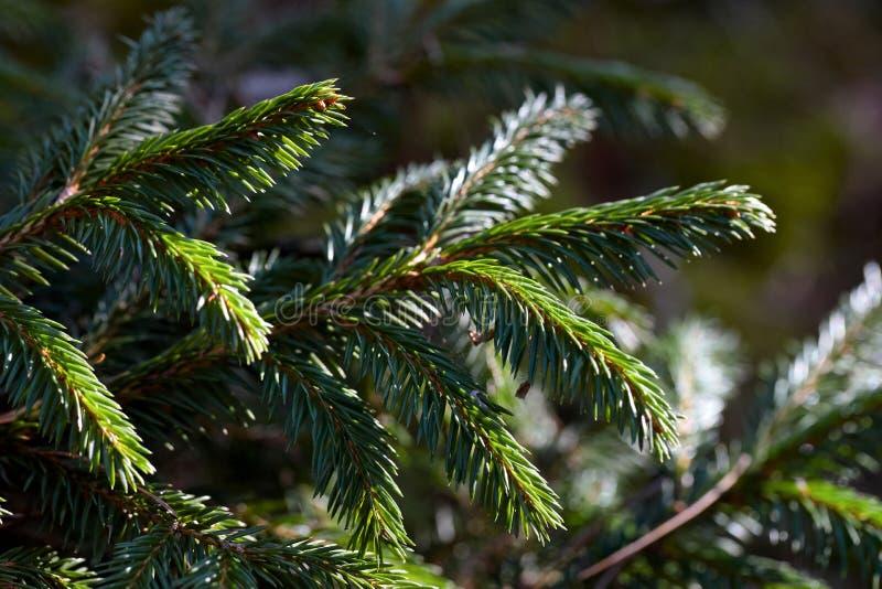 Branches de jeune arbre de sapin en premier ressort photographie stock libre de droits