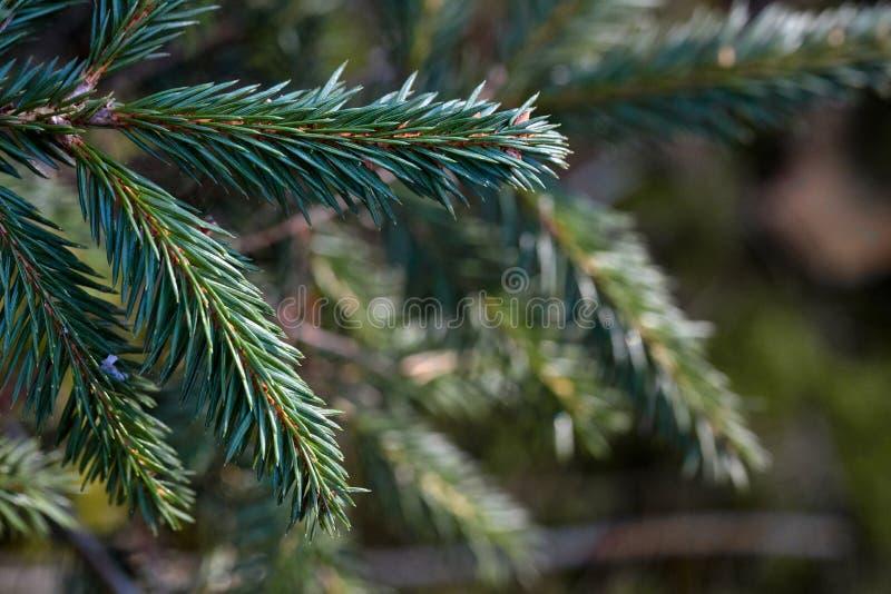 Branches de jeune arbre de sapin pendant la journée tôt de ressort images stock