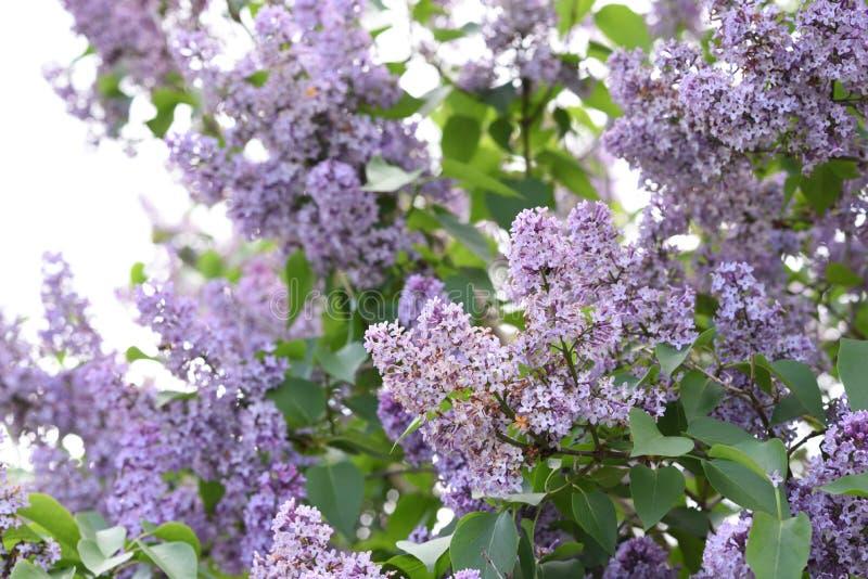 Branches de lilas de floraison, Syringa vulgaris photographie stock