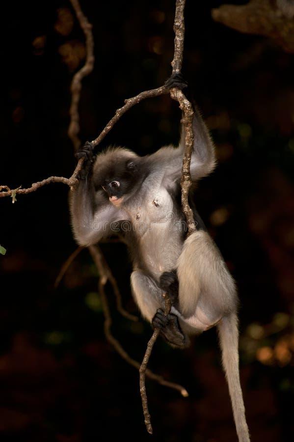 Branches de noeud de singe (obscura reid de Presbytis). photos stock