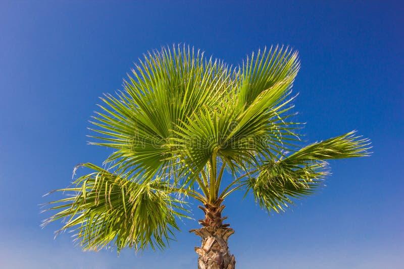 Branches de paume contre le temps clair de ciel bleu photo libre de droits
