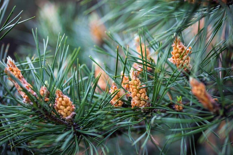 Branches de pin écossais avec les cônes masculins jaunes photographie stock