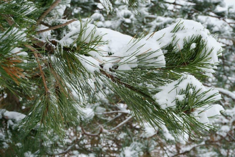 Branches de pin photographie stock