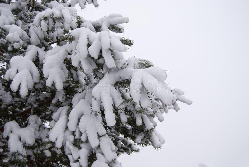Branches de pin couvertes de couche épaisse de neige pelucheuse fraîche images libres de droits