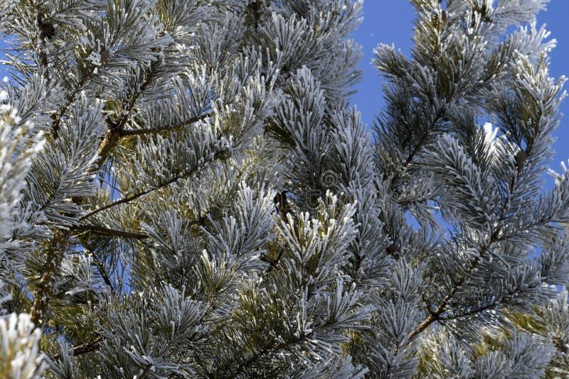 Branches de pin dans le gel neigeux au printemps photo stock