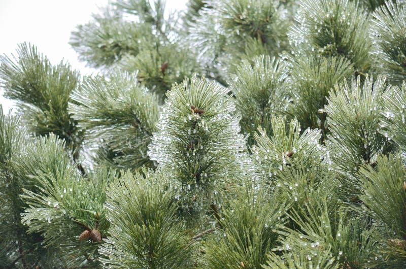 Branches de pin givrées photos libres de droits