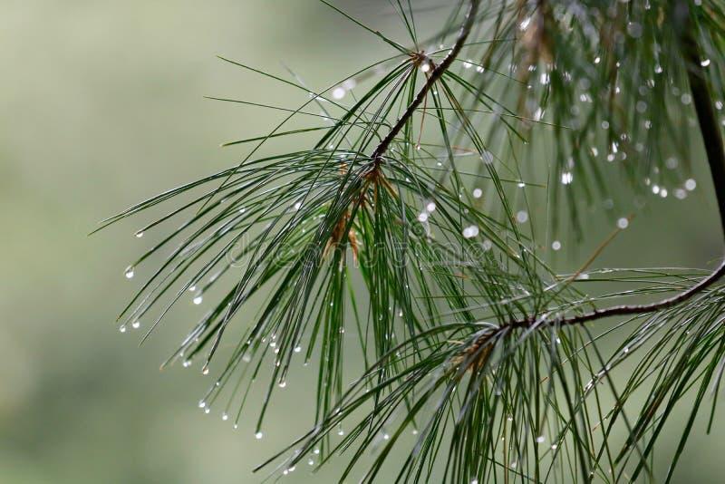 Branches de pin sous la pluie photos libres de droits