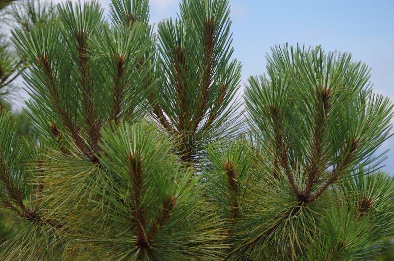 Branches de pin sur une montagne images stock
