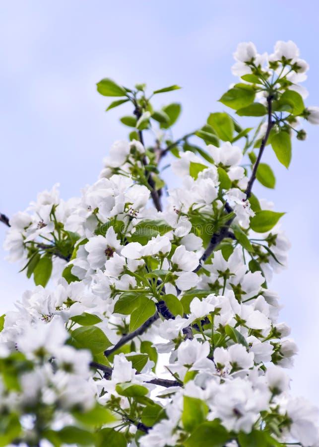 Branches de pommier avec des fleurs contre le ciel bleu sur Sunny Spring Day images libres de droits
