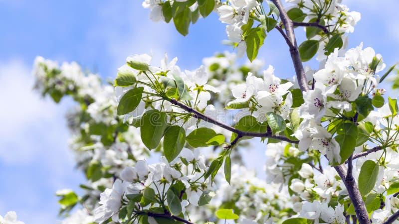 Branches de pommier avec des fleurs contre le ciel bleu sur Sunny Spring Day images stock