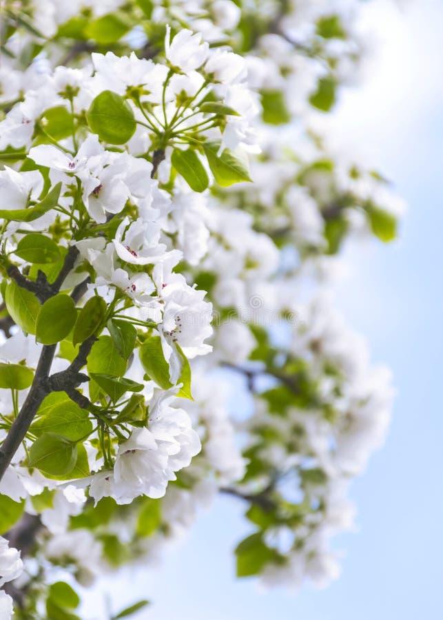 Branches de pommier avec des fleurs contre le ciel bleu sur Sunny Spring Day image stock