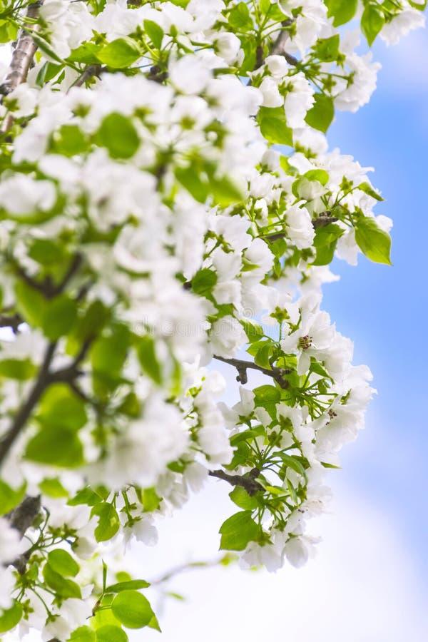 Branches de pommier avec des fleurs contre le ciel bleu sur Sunny Spring Day Concept de renouvellement de ressort photos libres de droits
