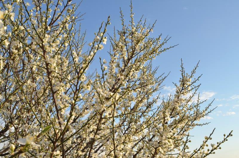 Branches de prune de cerise de floraison avec les fleurs blanches et les bourgeons unblown contre le ciel bleu de coucher du sole image libre de droits