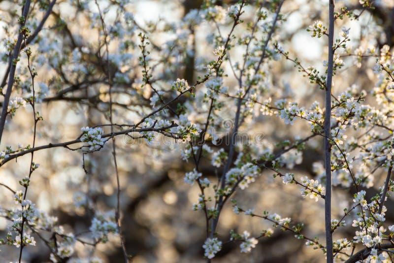 Branches de prunier fleurissant sur un coucher du soleil d'or dans la campagne Fleurs blanches de plomb image libre de droits