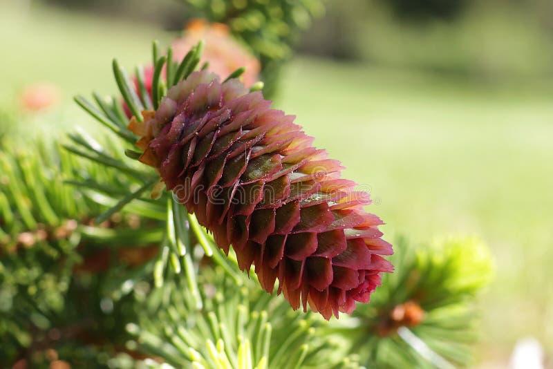 Branches de sapin fleurissant avec les cônes rouges dans la forêt photos libres de droits