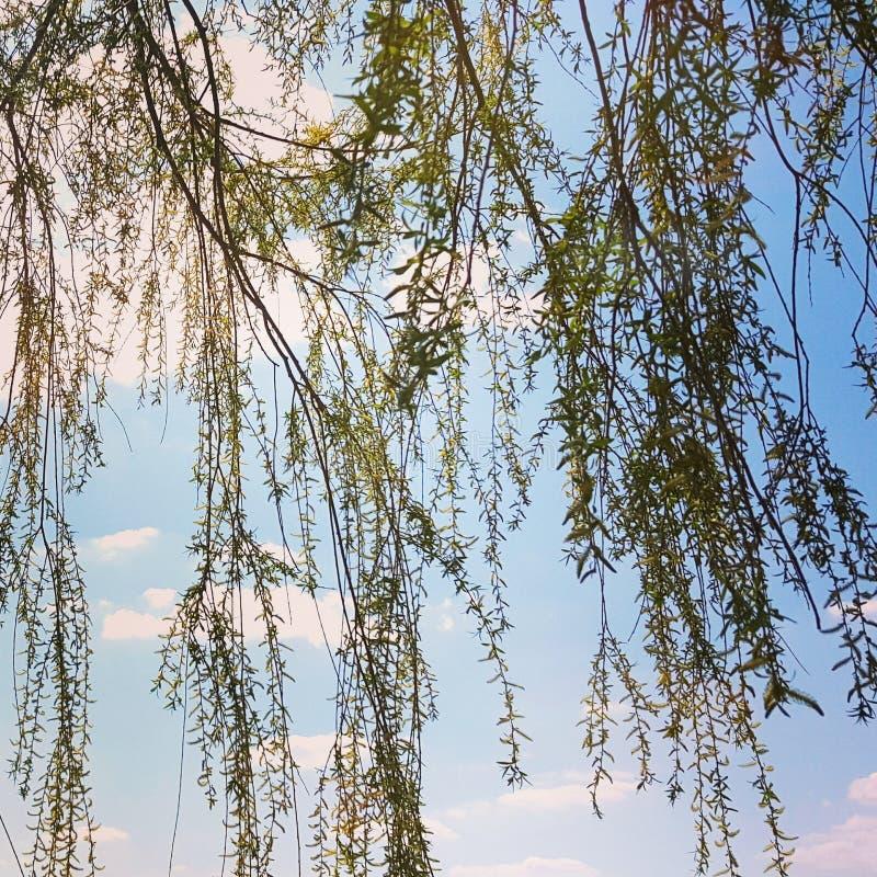 Branches de saule photo stock