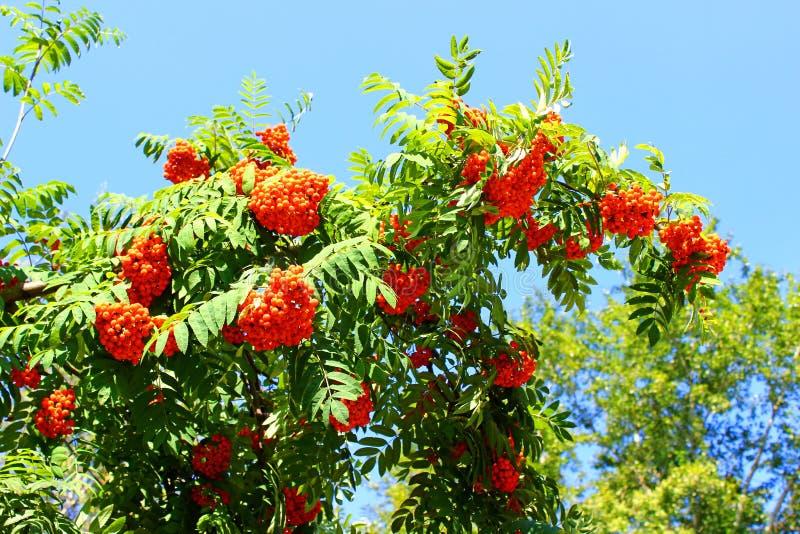 Branches de sorbe avec les baies lumineuses photographie stock