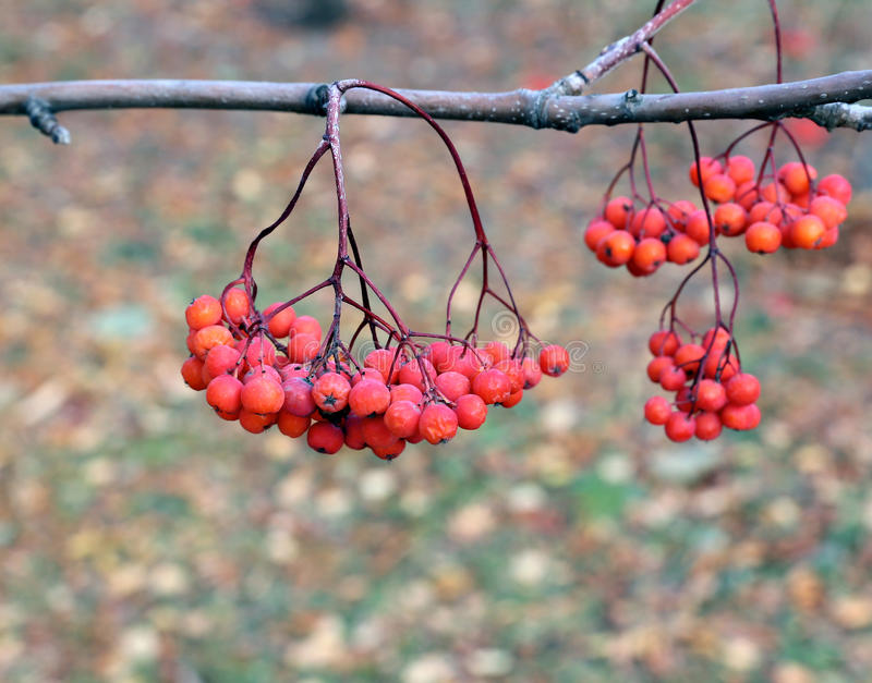 Branches de sorbe avec les baies lumineuses image stock