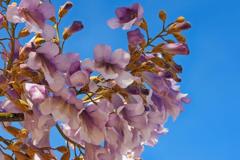 Branches de tomentosa fleurissant de Paulownia images libres de droits