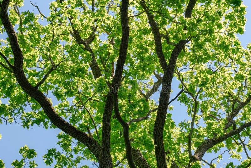 Branches de vert de chêne contre un ciel bleu bleu en parc en été photos stock