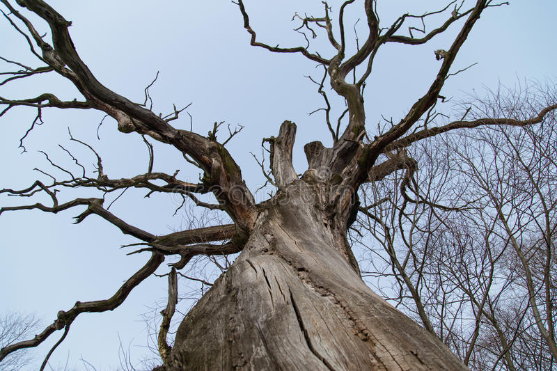 Download Branches Of A Dead Giant Tree Stock Image - Image of majestic, winter: 85277797