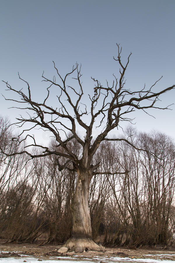 Download Branches Of A Dead Giant Tree Stock Photo - Image: 85299484