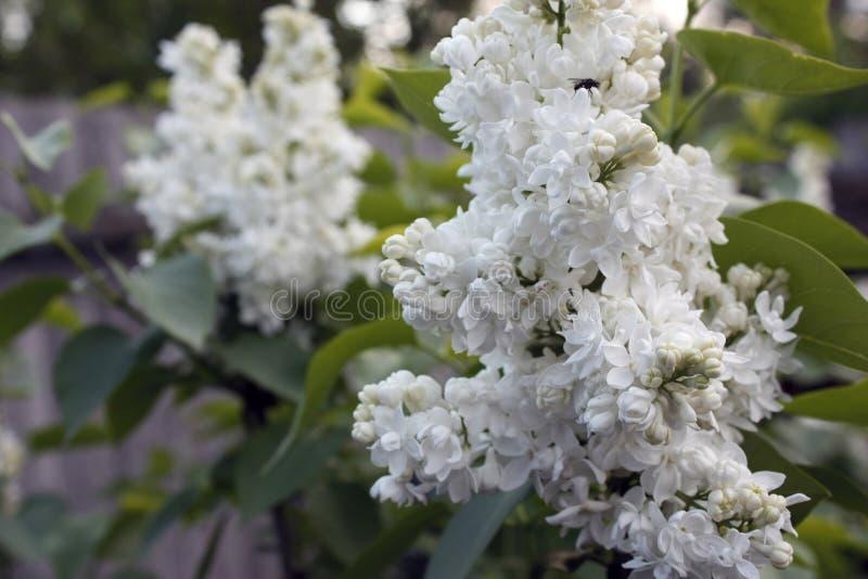 Branches des feuilles lilas et vertes blanches Branche fleurissante de lilas Plan rapproch? photographie stock